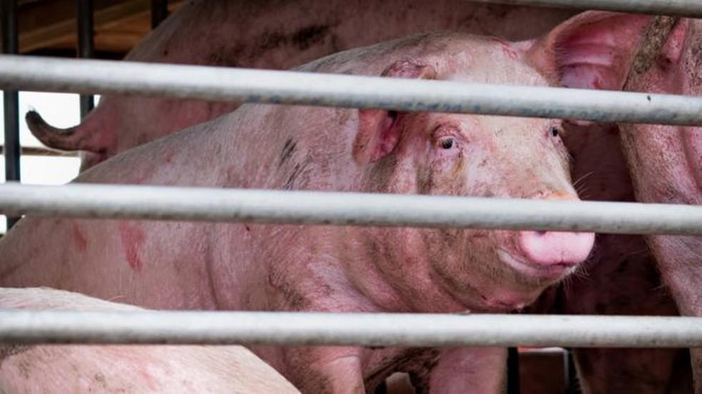 Novo vírus da gripe encontrado em porcos, na China, tem