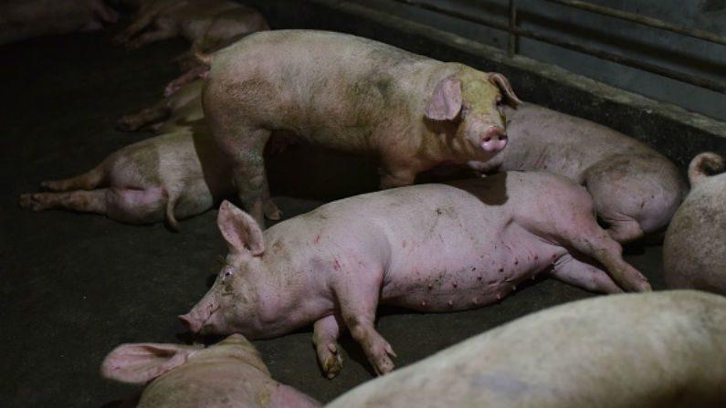 Adapi - mais um foco de peste suína no interior do Piauí